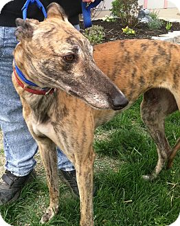 Greyhound Dog for adoption in Florence, Kentucky - Izzy