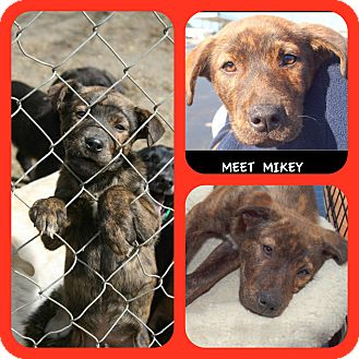 Mountain Cur/Labrador Retriever Mix Puppy for adoption in Ijamsville, Maryland - Mikey