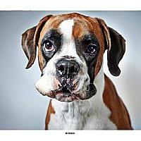 Adopt A Pet :: Boshka - New York, NY