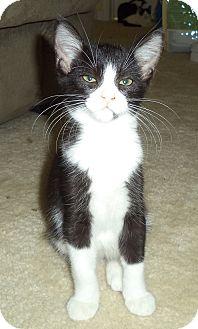 Domestic Mediumhair Kitten for adoption in Daytona Beach, Florida - Sadie