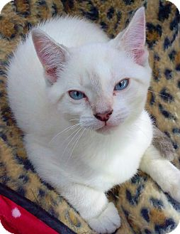Siamese Kitten for adoption in Riverview, Florida - Reesie