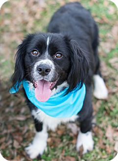 Springer Spaniel/Border Collie Mix Dog for adoption in Denver, Colorado - Socks