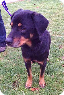 Rottweiler/Labrador Retriever Mix Dog for adoption in Metamora, Indiana - Ryder