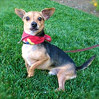 Miniature Pinscher/Chihuahua Mix Dog for adoption in Burbank, California - Little Joey-VIDEO