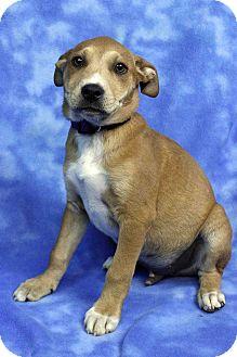 Shepherd (Unknown Type)/Labrador Retriever Mix Puppy for adoption in Westminster, Colorado - Fernando