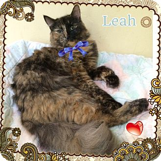 Maine Coon Cat for adoption in Harrisburg, North Carolina - Leah