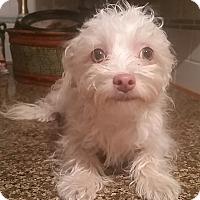 Adopt A Pet :: Comet - Temecula, CA