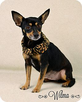 Chihuahua/Rat Terrier Mix Dog for adoption in Jackson, Mississippi - Wilma