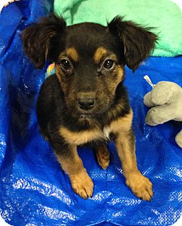 Shepherd (Unknown Type) Mix Puppy for adoption in Detroit, Michigan - Etsy-Adopted!