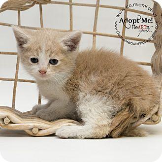 Domestic Shorthair Kitten for adoption in Troy, Ohio - Fern