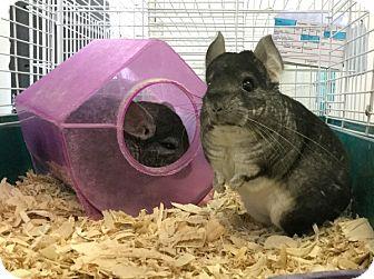 Chinchilla for adoption in Philadelphia, Pennsylvania - Picachu and Nitro