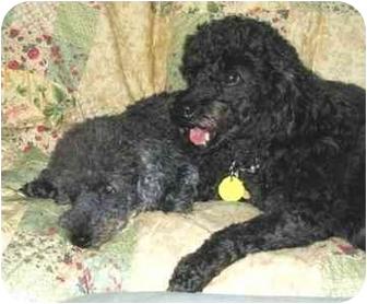 Poodle (Miniature) Dog for adoption in Melbourne, Florida - FARAH 15