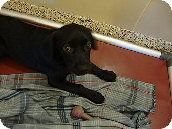 Beagle/Pug Mix Puppy for adoption in Aiken, South Carolina - Bubba