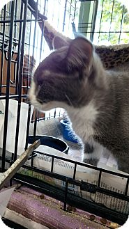 Domestic Shorthair Kitten for adoption in Yuba City, California - Lou