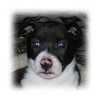 Border Collie/American Staffordshire Terrier Mix Puppy for adoption in Huntley, Illinois - Aida
