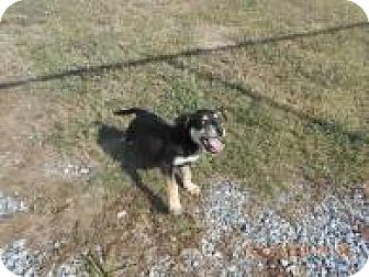 Shepherd (Unknown Type)/Hound (Unknown Type) Mix Puppy for adoption in Rexford, New York - Cindy Lou (Adoption Pending)