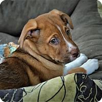 Adopt A Pet :: Amber - Denver, CO