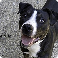 Adopt A Pet :: Amelia - South Bend, IN