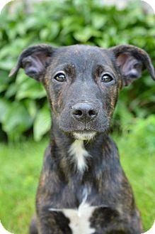 Labrador Retriever Mix Puppy for adoption in Danbury, Connecticut - Chip