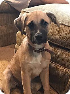 Boxer/Labrador Retriever Mix Puppy for adoption in Eden Prairie, Minnesota - Lady