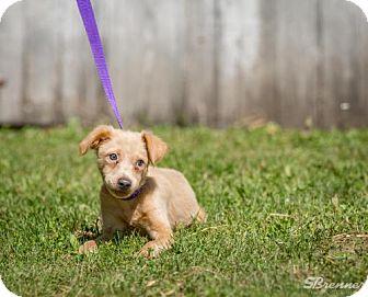 Sheltie, Shetland Sheepdog Mix Puppy for adoption in Pequot Lakes, Minnesota - Sara