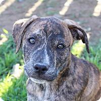 Adopt A Pet :: Kendall - Marion, AR