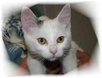 Domestic Shorthair Cat for adoption in Montgomery, Illinois - Aidan