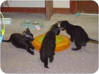 Domestic Shorthair Kitten for adoption in Lake Charles, Louisiana - Joan Jett
