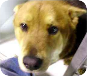 German Shepherd Dog Mix Dog for adoption in Kansas City, Missouri - Courtesy List-A12355804- 2/13