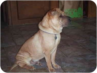 Shar Pei Mix Dog for adoption in Houston, Texas - Pickle