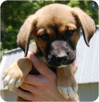 Labrador Retriever/Hound (Unknown Type) Mix Puppy for adoption in Foster, Rhode Island - Marty