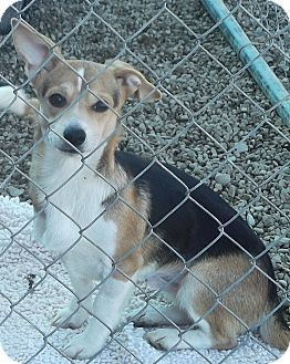 Corgi/Chihuahua Mix Puppy for adoption in Coudersport, Pennsylvania - IKE