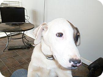 Boxer Mix Puppy for adoption in Cincinnati, Ohio - Buster