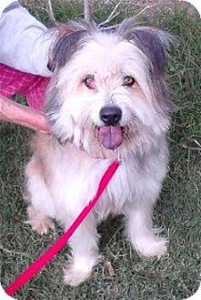 Bearded Collie Mix Dog for adoption in Schertz, Texas - Turbo