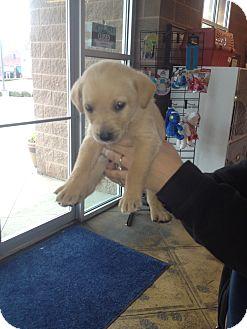 Golden Retriever/Labrador Retriever Mix Puppy for adoption in BIRMINGHAM, Alabama - Jingles