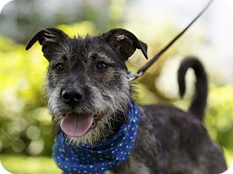 Terrier (Unknown Type, Medium) Mix Dog for adoption in Ile-Perrot, Quebec - George
