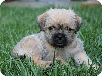 Pug/Border Terrier Mix Puppy for adoption in La Habra Heights, California - Hildi