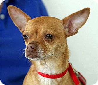 Chihuahua Dog for adoption in Berkeley, California - Doodle