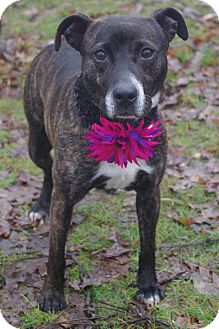 Cattle Dog/Pit Bull Terrier Mix Dog for adoption in Poland, Ohio - CHEROKEE // 3 ADOPTED