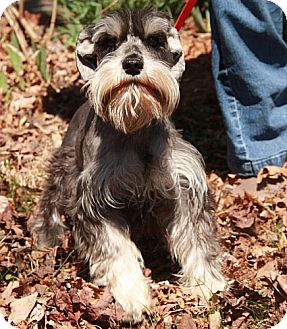 Schnauzer (Standard) Dog for adoption in Plainfield, Connecticut - Kayla