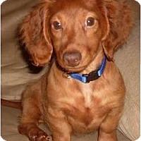 Adopt A Pet :: Cooper - Killingworth, CT