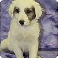 Adopt A Pet :: Aspen - Broomfield, CO