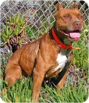 American Pit Bull Terrier Dog for adoption in Rolling Hills Estates, California - Trixie