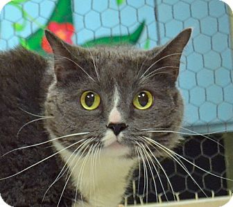 Domestic Shorthair Cat for adoption in Searcy, Arkansas - Socks