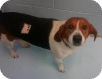 Beagle Mix Dog for adoption in Irmo, South Carolina - DJ