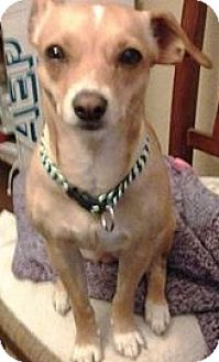 Jack Russell Terrier/Chihuahua Mix Dog for adoption in Covington, Washington - Laynee-adopted!
