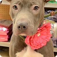 Adopt A Pet :: Diamond - Rockaway, NJ