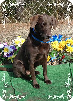Labrador Retriever Dog for adoption in Marietta, Georgia - VEGAS/COCOA (R)