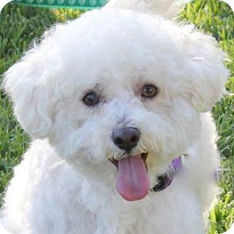 Bichon Frise Mix Dog for adoption in La Costa, California - Parker