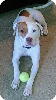 American Bulldog/Boxer Mix Dog for adoption in HAGGERSTOWN, Maryland - IVY